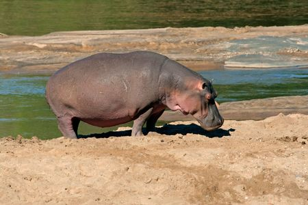 Hippopotamus (Hippopotamus amphibius), Kruger National Park, South Africa Stock Photo - 713922
