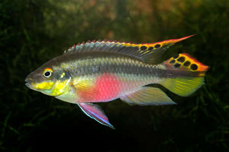 Colorful kribensis or purple cichlid (Pelvicachromis pulcher) from Nigeria  photo
