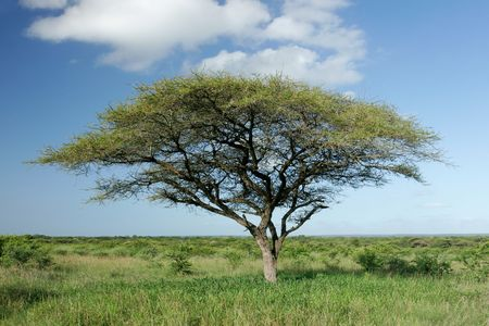 African landscape with an African Acacia tree (Acaciatortilis), Mkuze game reserve, South Africa  Stock Photo