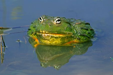 anuran: Male African giant bullfrog (Pyxicephalus adspersus), South Africa