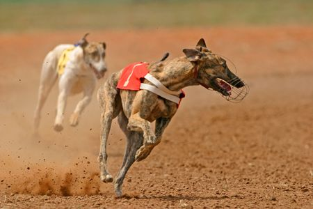 Greyhound at full speed during a race Stock Photo - 748968