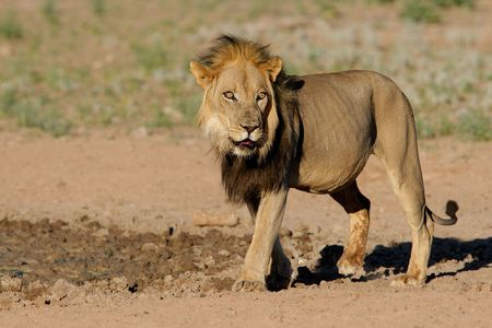 panthera: Grande, nero-africana Maned leone (Panthera leo), Kalahari, Sud Africa
