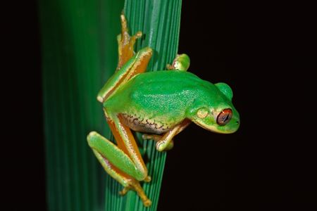secretive: Forest tree frog (Leptopelis natalensis), South Africa