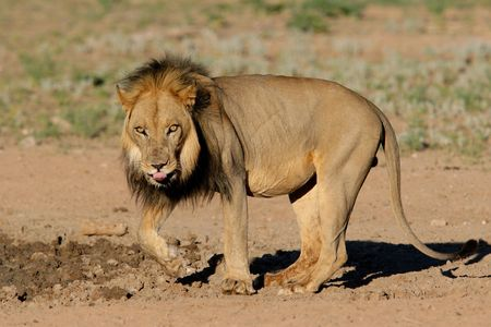 Big, black-maned African lion (Panthera leo), Kalahari, South Africa Stock Photo - 787410