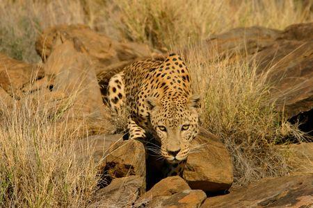 stalking: Stalking male leopard (Panthera pardus), Namibia, southern Africa