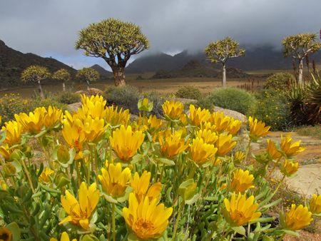 quiver: Landschap met wilde bloemen en bomen quiver (Aloe dichotoma), Namaqualand, Zuid-Afrika Stockfoto