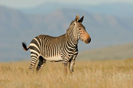 cebra: Peligro Cabo Mountain Zebra (Equus zebra), Mountain Zebra National Park, Sud�frica