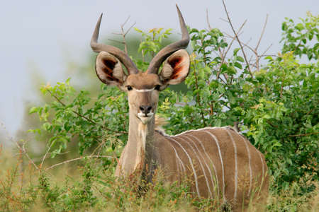 immature: Immature male Kudu antelope (Tragelaphus strepsiceros), Kruger National Park, South Africa  Stock Photo
