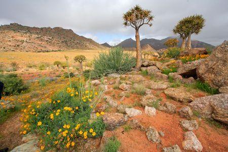 quiver: Landschap met wilde bloemen en trillen bomen (Kokerboom), Namaqualand, Zuid-Afrika
