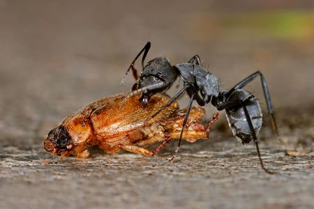 scavenging: An African ant scavenging on a dead beetle