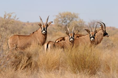 Rare and endandered roan antelopes (Hippotragus equinus), South Africa  photo