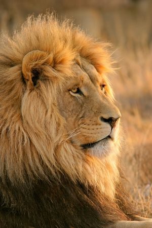 southern africa: Portrait of a big male African lion (Panthera leo), South Africa