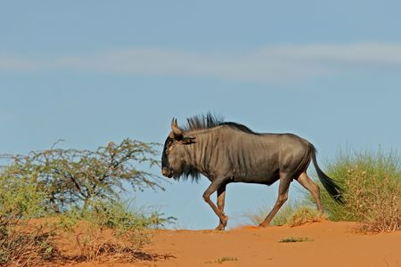 unspoiled: A blue wildbesst (Connochaetes taurinus) on a sand dune in the semi-desert Kalahari, South Africa