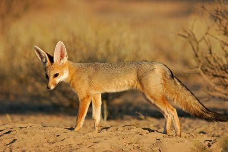 zorro: Zorro del cabo (chama) de Vulpes, Kalahari, Sur�frica