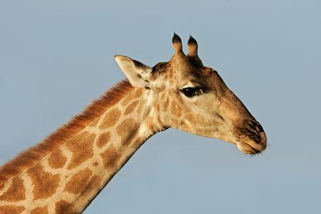 Close-up portrait of a giraffe (Giraffa camelopardalis), Etosha National Park, Namibia Stock Photo - 856730