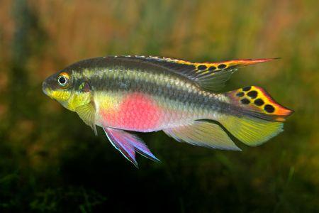 buntbarsch: Bunte kribensis oder lila cichlid (Pelvicachromis pulcher) aus Nigeria  Lizenzfreie Bilder