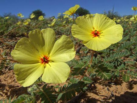 Yellow flowers of Tribulus zeyheri against a blue sky, Kalahari, South Africa  photo