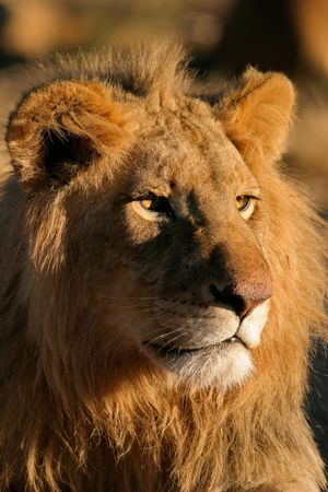 Portrait of a big male lion (Panthera leo), Kalahari, South Africa Stock Photo - 885568