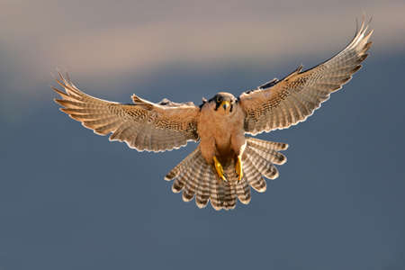 A lanner falcon (Falco biarmicus) landing with outstretched wings, South Africa  Stock Photo - 893518
