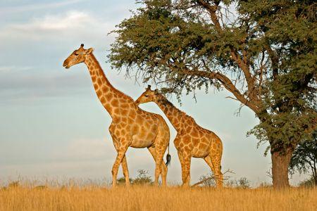 unspoiled: Dos jirafas (jirafa) en virtud de un camello espina (Acacia erioloba) �rbol, Kalahari, Sud�frica  Foto de archivo