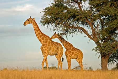 herbivore natural: Two giraffes (Giraffa camelopardalis) under a camel thorn (Acacia erioloba) tree, Kalahari, South Africa