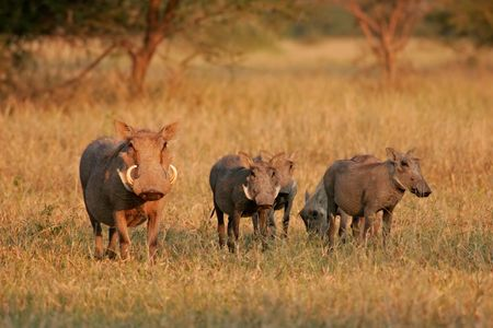 southern africa: A female warthog (Phacochoerus africanus) with her litter of four, South Africa