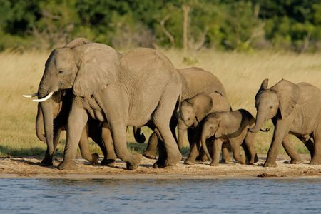 africana: Herd of African elephants (Loxodonta africana) at a waterhole, Hwange National Park, Zimbabwe