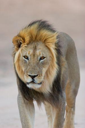 lion face: Big, black-maned African lion (Panthera leo) walking, Kalahari, South Africa  Stock Photo