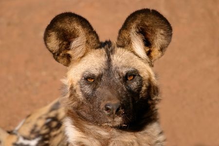 Portrait of an African wild dog or painted hunting dog (Lycaon pictus), South Africa  photo