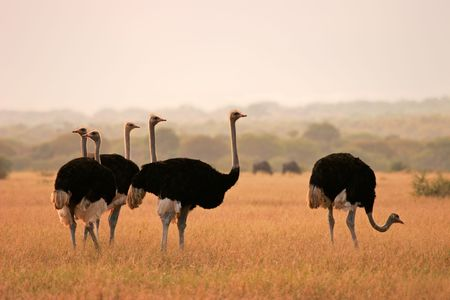 struthio camelus: Ostriches (Struthio camelus) in early morning light, Marakele National Park, South Africa