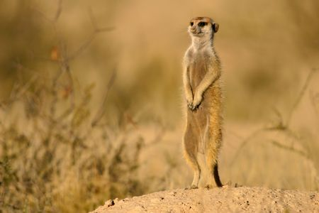 suricate: Suricate or meerkat (Suricata suricatta) standing on guard, Kalahari, South Africa