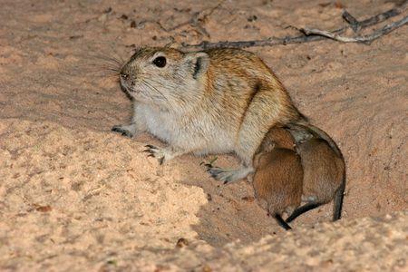 the offspring: Mujeres silbido de rata (Parotomys brantsii) con su joven hijo, Kalahari, Sud�frica