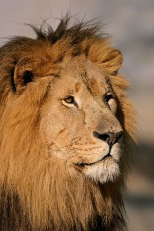 Portrait of a big male African lion (Panthera leo), South Africa Stock Photo - 954485