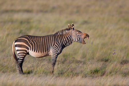 Endangered Cape Mountain Zebra (Equus zebra), Mountain Zebra National Park, South Africa Stock Photo - 954488