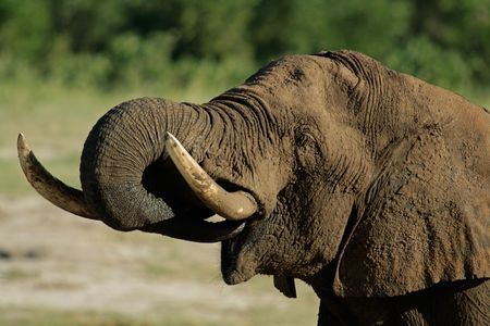 Portrait of an African elephant (Loxodonta africana) drinking water, Hwange National Park, Zimbabwe Stock Photo - 967034