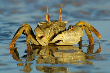 Ghost crab (Ocypode sp.) on the beach, Mozambique, southern Africa Stock Photo