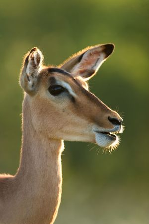 Backlit portrait of a female Impala (Aepyceros melampus) antelope, Kruger National Park, South Africa  photo
