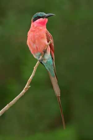 south african birds: Colorful Carmine ape-mangiatore (Merops nubicoides), Kruger National Park, Sud Africa