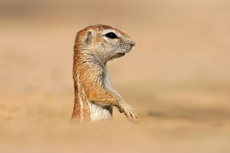 dwelling: Desert dwelling ground squirrel  (Xerus inaurus), Kalahari, South Africa