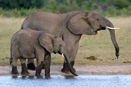 waterhole: Two African elephants (Loxodonta africana) at a waterhole, Hwange National Park, Zimbabwe