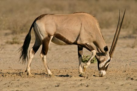 Gemsbok antelope (Oryx gazella), Kalahari, South Africa photo