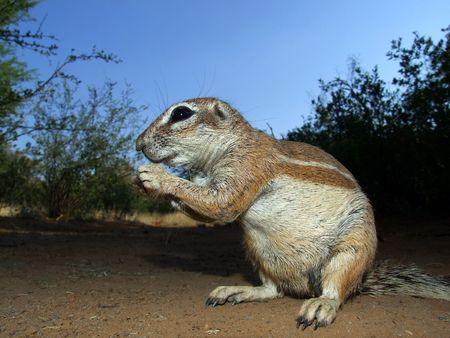 burrows: Inquisitive ground squirrel (Xerus inaurus), Kalahari, South Africa  Stock Photo