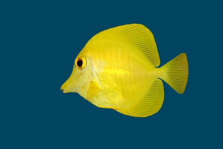 flavescens: Yellow Tang (Zebrasoma flavescens) isolated on a blue background  Stock Photo