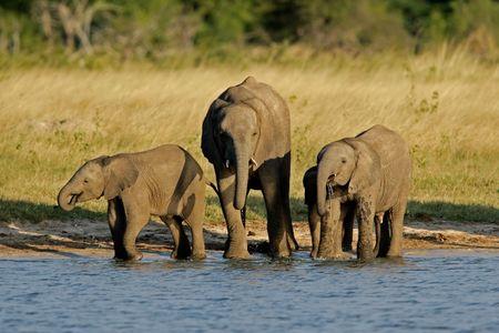 simbabwe: Drei junge afrikanische Elefanten (Loxodonta africana) an einem Wasserloch, Hwange National Park, Simbabwe