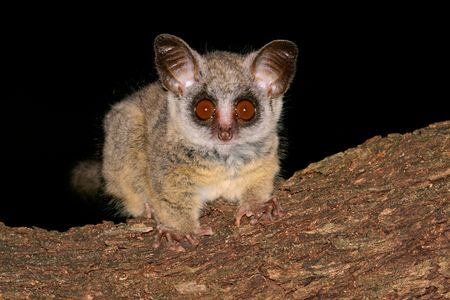 Portrait of the nocturnal Lesser Bush (Galago moholi), South Africa
