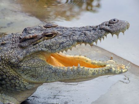 crocodylus: Portrait of a nile crocodile (Crocodylus niloticus) resting with mouth open, southern Africa
