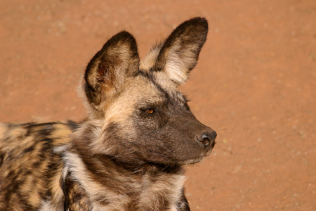 lycaon pictus: Portrait of an African wild dog or painted hunting dog (Lycaon pictus), South Africa