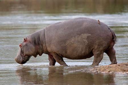 Hippopotamus (Hippopotamus amphibius) walking in shallow water, Sabie-Sand nature reserve, South Africa