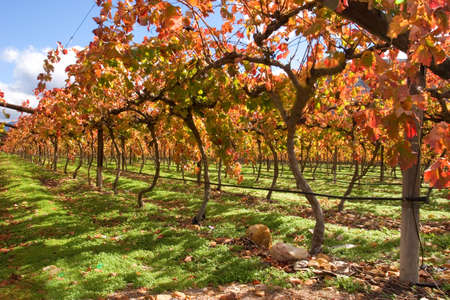 farm structure: Vineyard, Cape Town area, South Africa  Stock Photo