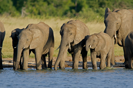 waterhole: Herd of African elephants (Loxodonta africana) at a waterhole, Hwange National Park, Zimbabwe